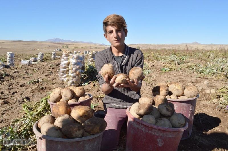 Patates hasadı çiftçiyi memnun etmedi