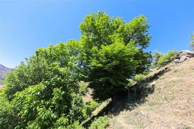 Diyarbakır'da 410 Yıllık Kestane Ağacı Tescillendi